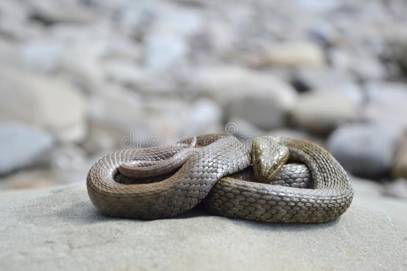 Dice snake Natrix tessellata. On a stone royalty free stock images