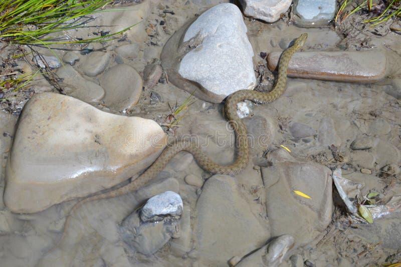 Dice snake Natrix tessellata. On a stone royalty free stock photography