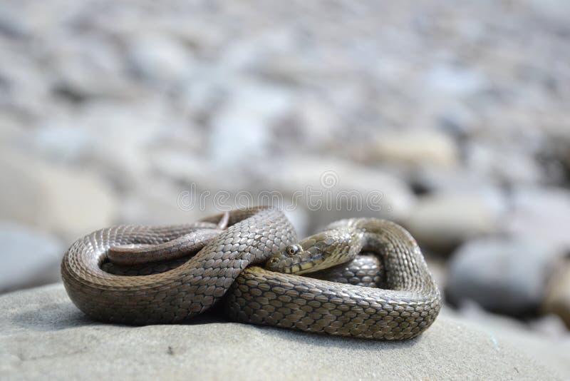 Dice snake Natrix tessellata. On a stone stock photo