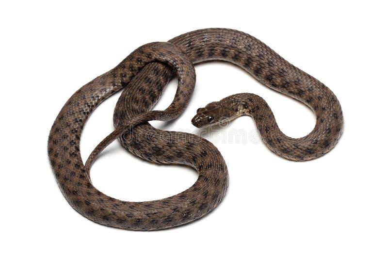 Dice snake (Natrix tessellata) isolated on white. Background stock image