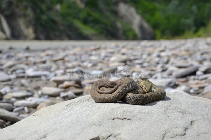 Dice snake Natrix tessellata. On a stone stock photos