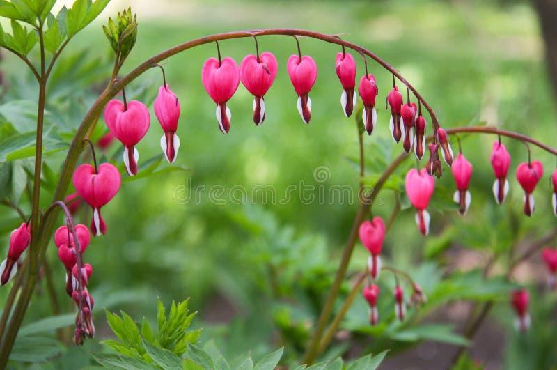 Dicentra cor-de-rosa em um jardim foto de stock royalty free