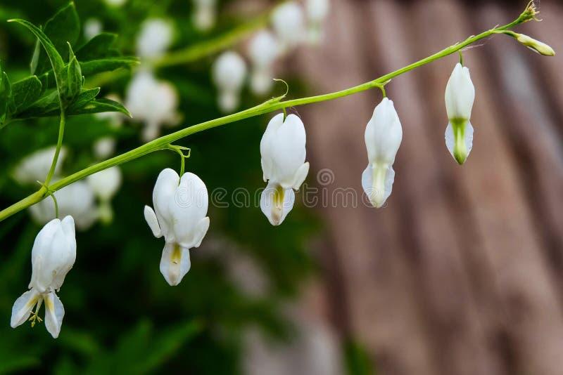Dicentra - fiori bianchi del cuore rotto Piante naturali per l'ornamentale e l'abbellimento della progettazione del giardino e de fotografie stock libere da diritti