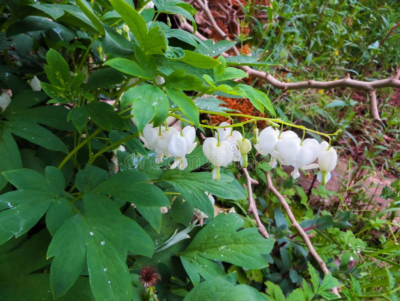 Dicentra is a genus of annual and perennial herbaceous plants from the subfamily. Plants of this genus are famous for their. Dicentra is a genus of annual and stock image