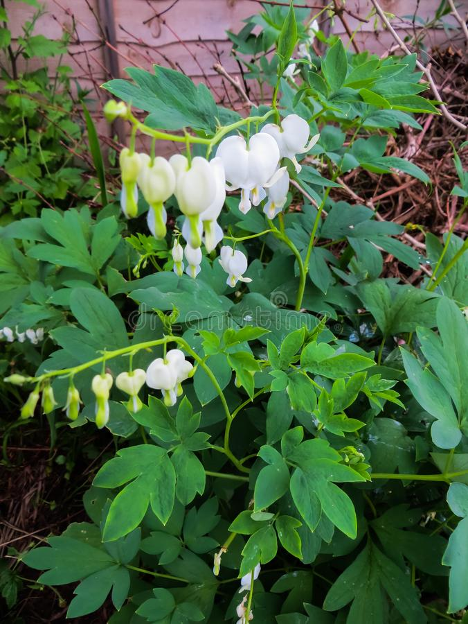 Dicentra is a genus of annual and perennial herbaceous plants from the subfamily. Plants of this genus are famous for their. Dicentra is a genus of annual and royalty free stock photos