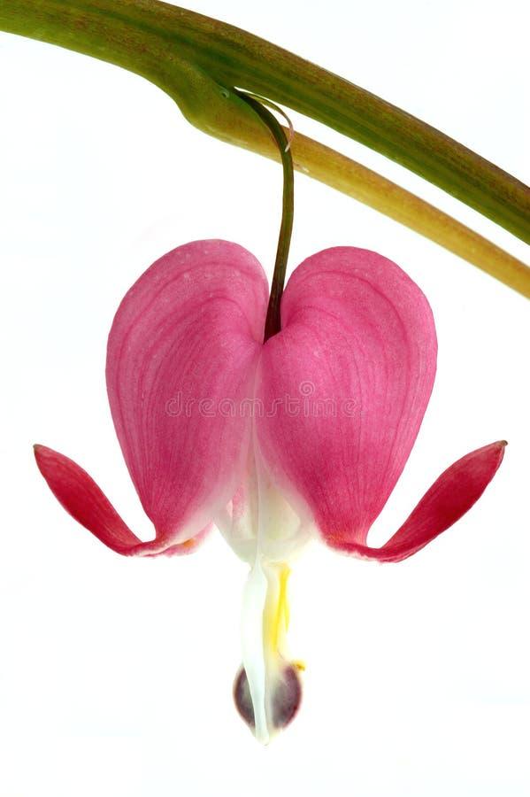dicentra kwiat obrazy stock
