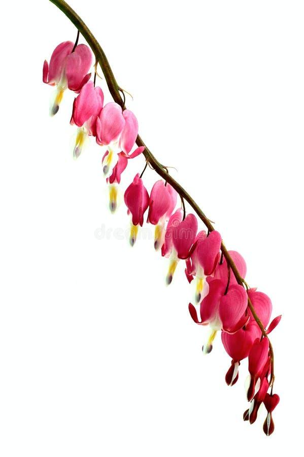 dicentra kwiat zdjęcie royalty free