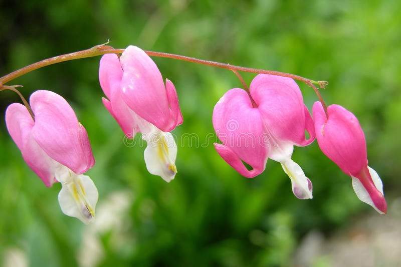 Dicentra kwiat obrazy royalty free