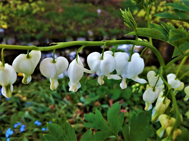 Dicentra spectabilis alba - blödande hjärtblomning vit royaltyfria foton