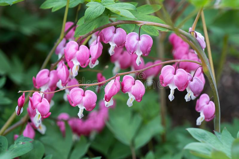 Dicentra Spectabilis Bleeding Heart Flowers. Lamprocapnos spectabilis Bleeding Heart flowers syn. Dicentra spectabilis, family: Papaveraceae stock photo