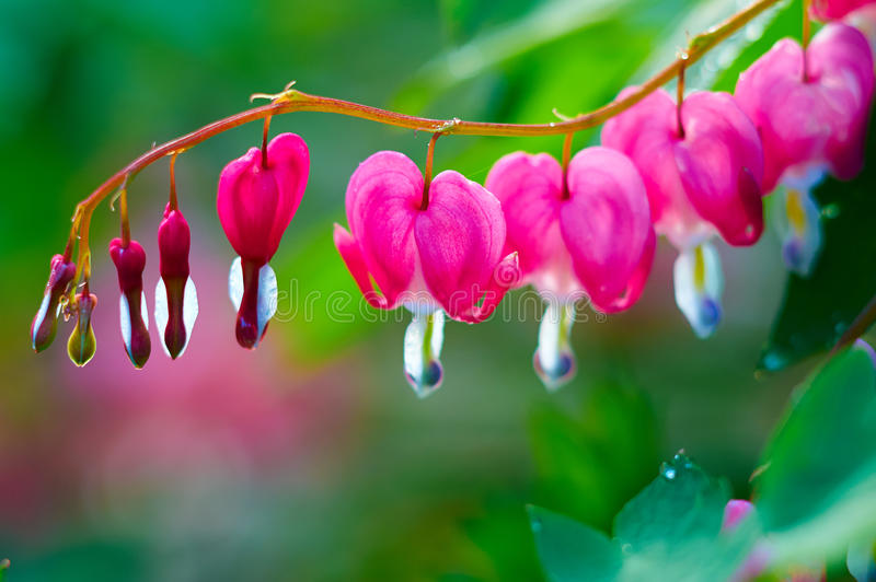 Dicentra spectabilis. The image taken in china's daqing city residence community.Dicentra spectabilis royalty free stock images