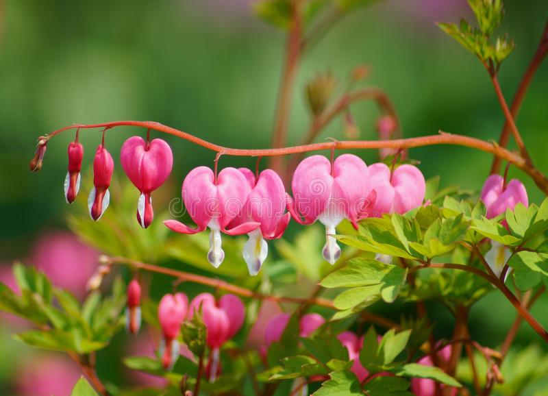 Dicentra spectabilis - Lamprocapnos spectabilis. Spring in botanic garden royalty free stock photography