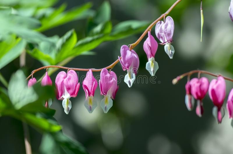 Dicentra spectabilis pink bleeding hearts on the branch, flowering plant in springtime garden. Beautiful shrub stock photos