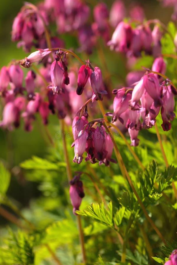 Dicentrabloem De tuin van de lente royalty-vrije stock afbeelding