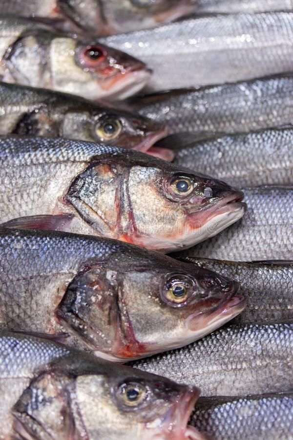 Dicentrarchus labraxis is a white fish of the Moronidae family. A lot of fresh fish on ice on a store counter vertical background. Dicentrarchus labraxis is a stock images