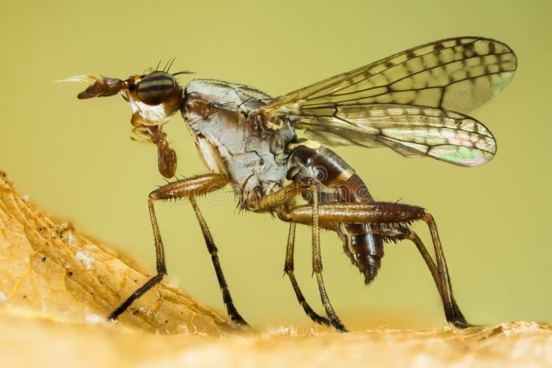 Dichetophora wischen aus, fliegen, Fliegen lizenzfreie stockbilder