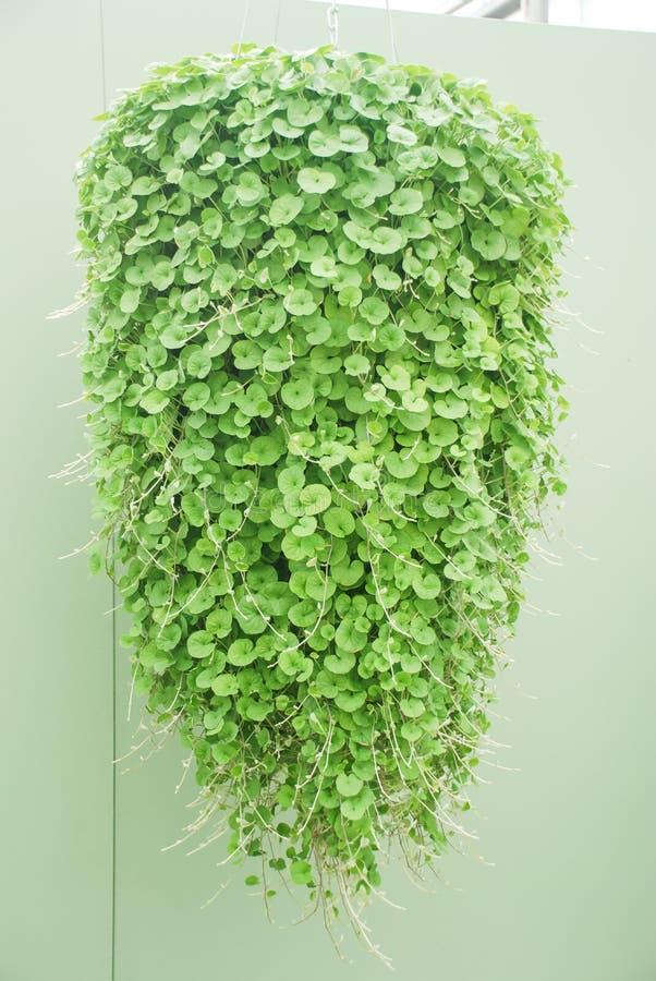 Plant Tiles of Dichondra repens - stronger than a pancake! [Vídeo] |  Hortas, Jardim vertical, Telhado verde