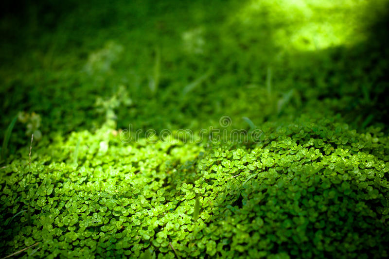 Dichondra repens Forst stock photo. Image of forst, leaf - 125397898