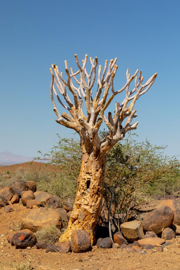 Dichotomum de Aloidendron, árvore do aloés, região selvagem de Namíbia fotos de stock