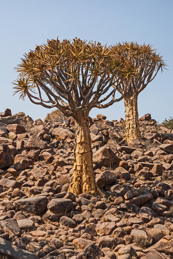 Dichotomum de Aloidendron, a árvore tremer em Soutern Namíbia 1 imagens de stock royalty free