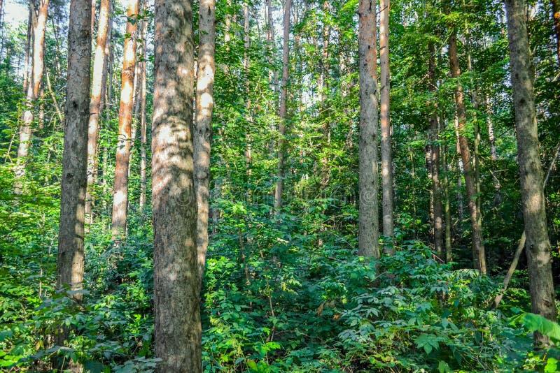 Dicht bos een ondoordringbaar struikgewas Concept energie Rusland Boom op gebied stock fotografie