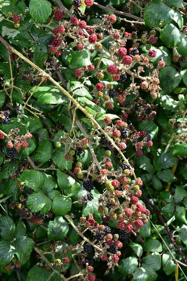 Dicht braambessenfruit stock afbeelding