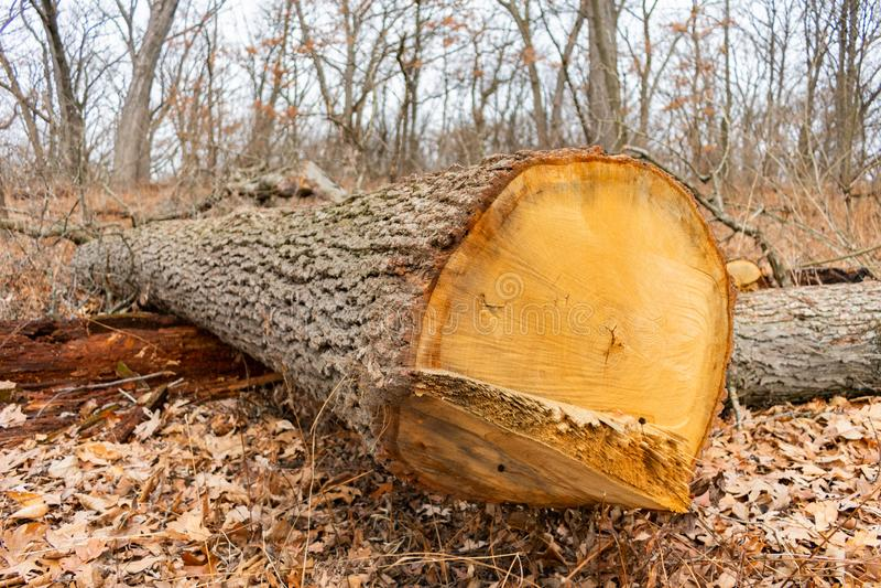 Dicht omhoog gehakt onderaan Boom in een Bos tijdens de Winter royalty-vrije stock foto's