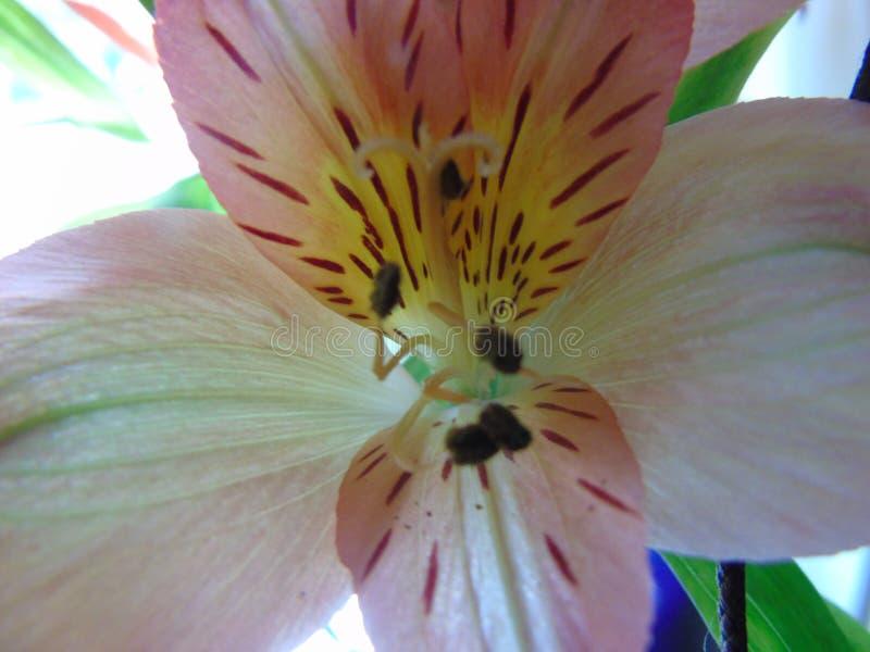 Dicht omhooggaand de meeldraadstuifmeel van Lilly Flower stock fotografie