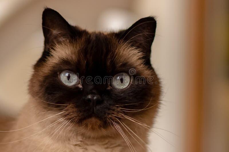 Dicht portret van blauwe eyed siamese kattenzitting op de vloer royalty-vrije stock afbeeldingen