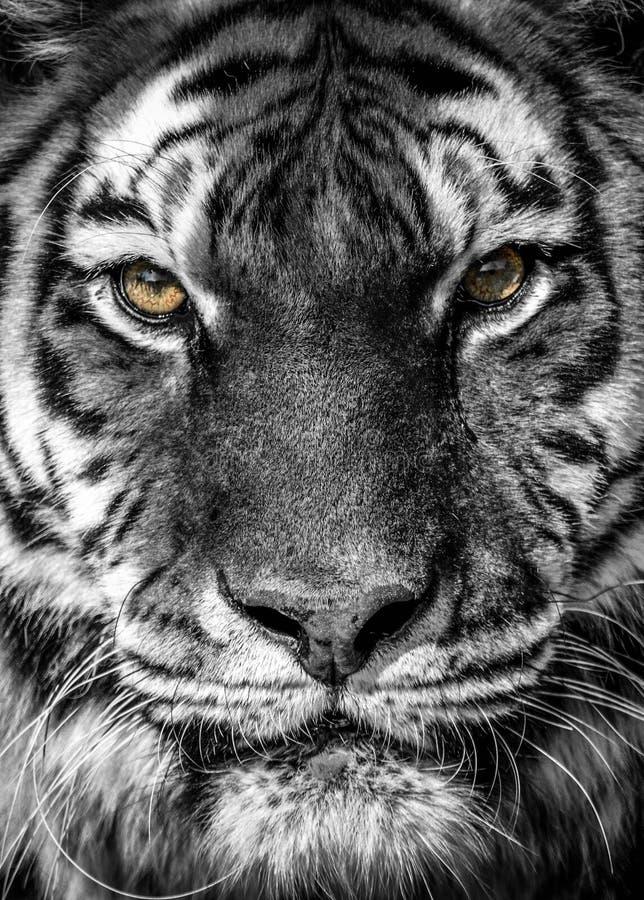 Dicht portret van een tijger royalty-vrije stock foto's