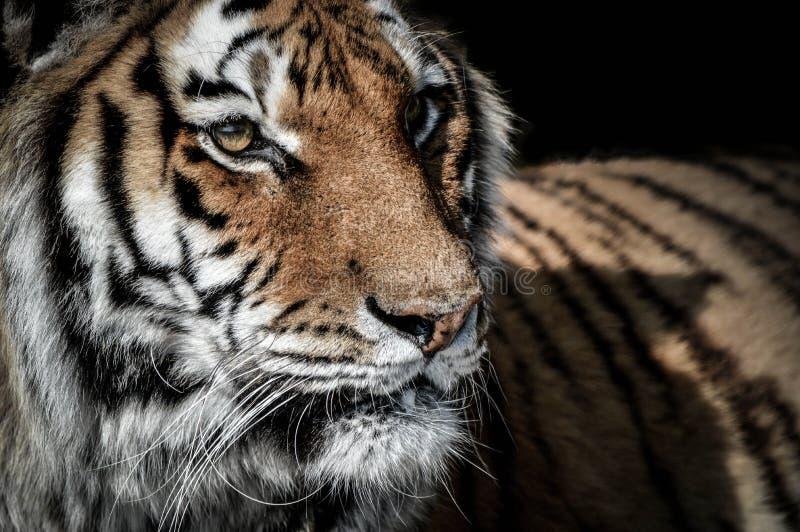 Dicht portret van een tijger stock afbeeldingen
