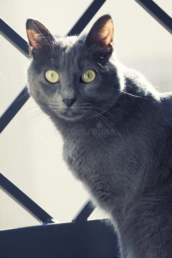Dicht portret van een vrouwelijke blauwe Russische/kartuizer kat stock afbeeldingen