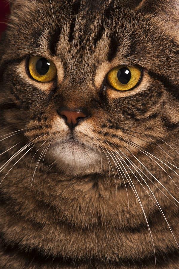 Dicht portret van grote gele ogen van een de vrouwelijke gestreepte katkat stock foto