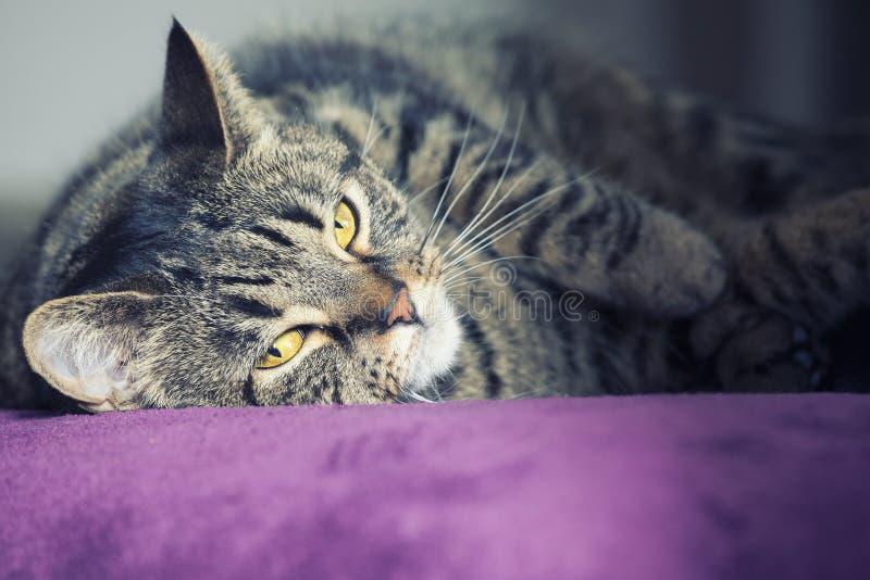 Dicht portret van het vrouwelijke gestreepte katkat liggen royalty-vrije stock fotografie