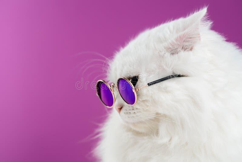 Dicht portret van witte bontkat in manierzonnebril Sluit omhoog De luxueuze binnenlandse pot in glazen stelt op roze stock fotografie