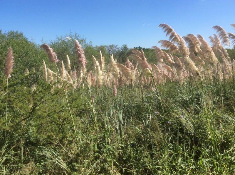 Dicht struikgewas van hoge grassen in het nationale ecologische Park dichtbij de lagune stock afbeelding
