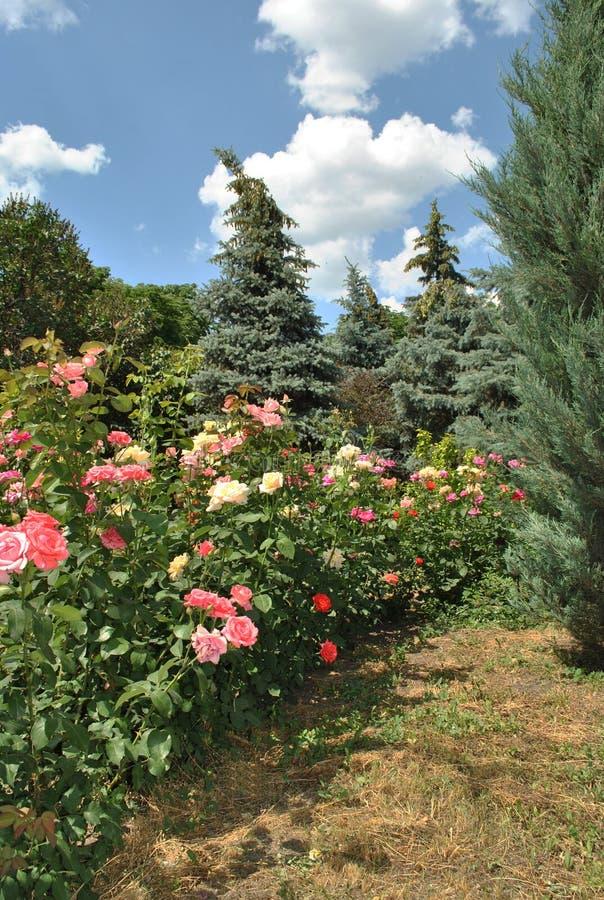 Dichtbij de bos rostut multicolored rozen royalty-vrije stock afbeeldingen