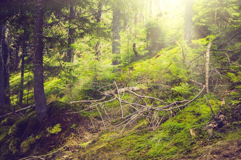 Dichte bergbos en bomen met mos in magisch licht royalty-vrije stock fotografie
