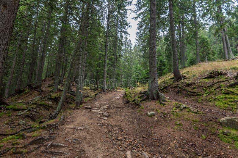 Dichte bergbos en weg tussen de wortels van bomen royalty-vrije stock foto's