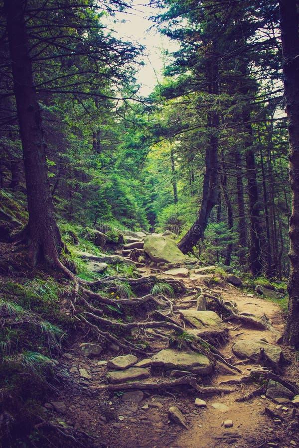 Dichte bergbos en weg tussen de wortels van bomen stock fotografie