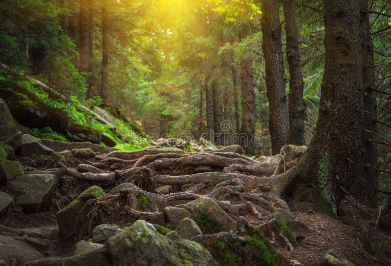 Dichte bergbos en weg tussen de wortels van bomen stock foto