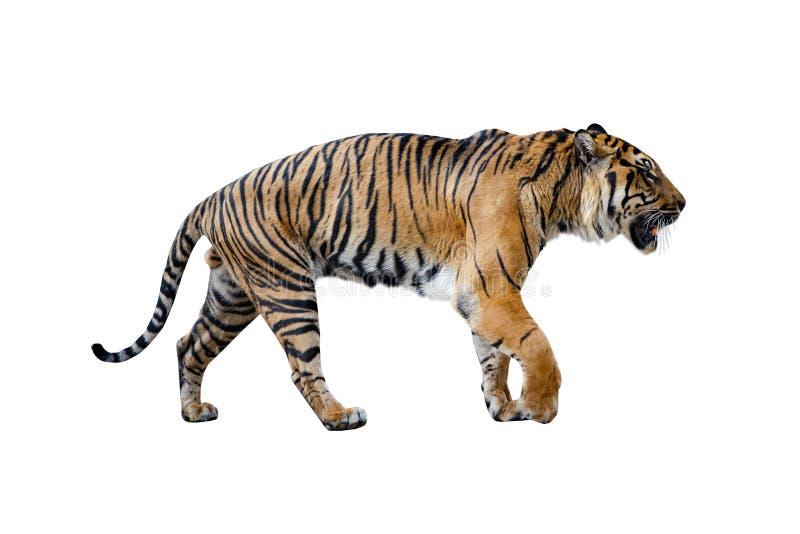 Dichte die uo van tijger op de Witte achtergrond wordt geïsoleerd stock afbeelding
