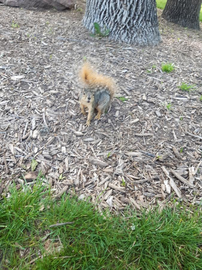 Dichte eekhoorn stock afbeelding
