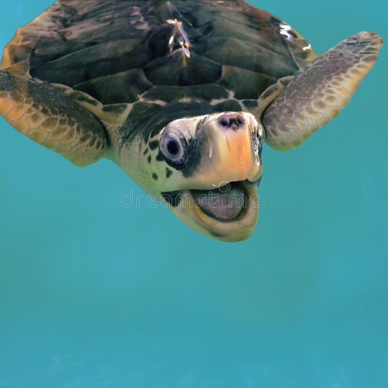 Dichte foto van het glimlachen van zeeschildpad in water Olijf groene schildpad die in pool zwemmen royalty-vrije stock fotografie