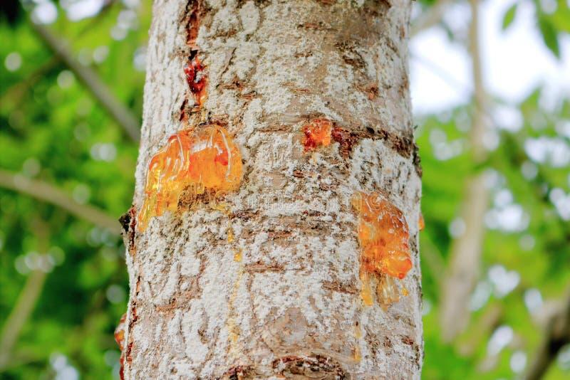 Dichte frontale mening van gummosis op een Berkboom royalty-vrije stock foto's