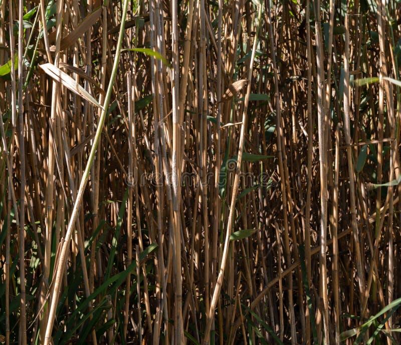 Dichte, hohe Sumpfschilfe in einem Wald stockfotografie
