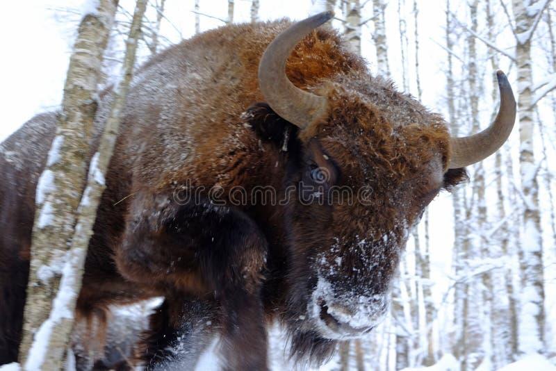 Dichte mening van aanvals Europese bizon royalty-vrije stock fotografie