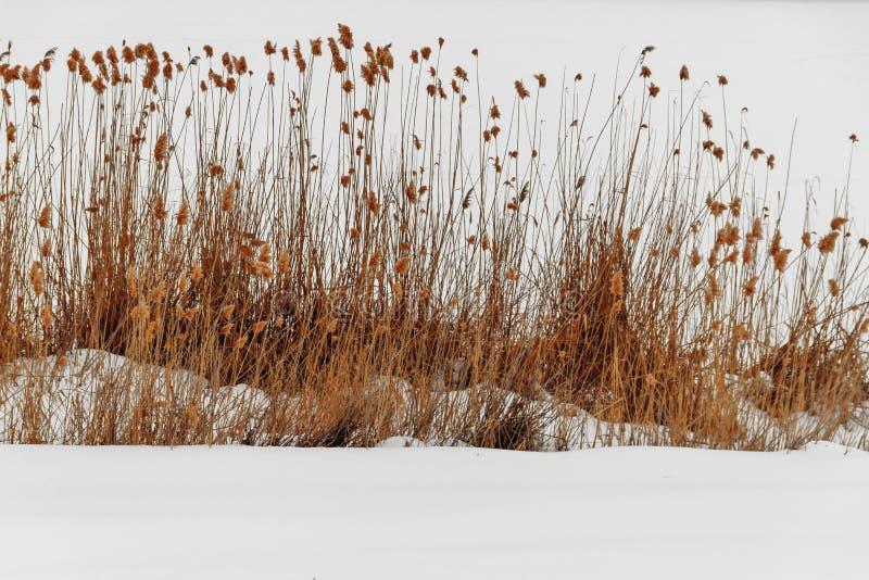 Dichte mening van de rivier en het droge riet in bevroren de winterrivier stock afbeeldingen