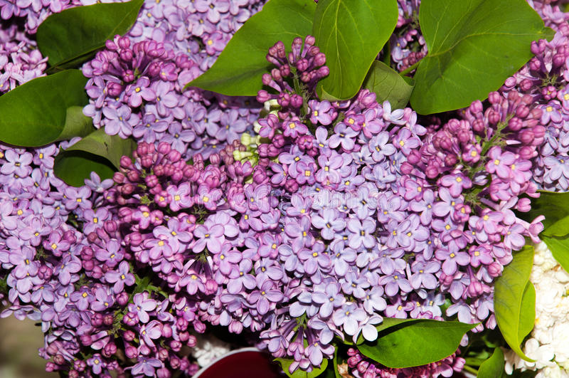 Dichte mening van lilac bloemen stock foto