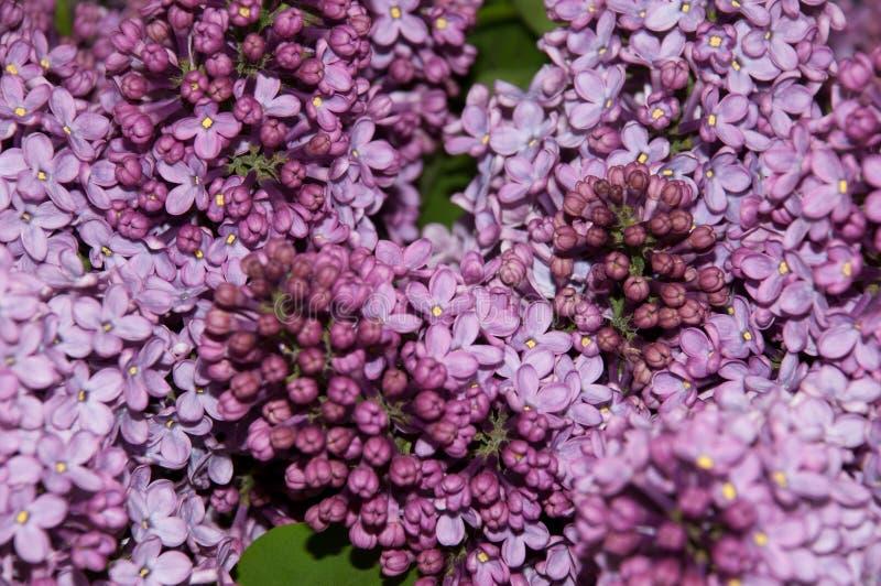 Dichte mening van lilac bloemen royalty-vrije stock foto